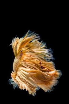 Желтое золото бетта рыбы, сиамские боевые рыбы