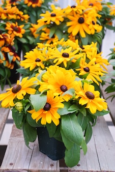 Желтые черноглазые сусаны, рудбекия хирта, цветущие в летнем саду