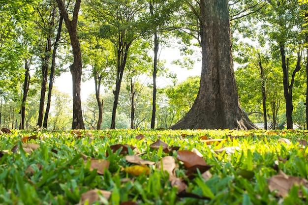 バンコクのルンピニー公園で屋外の大きな木と朝の日差しで緑の芝生公園