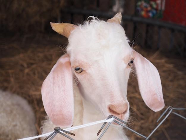 農場で羊の顔を閉じる
