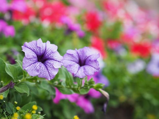 紫のペチュニアの花