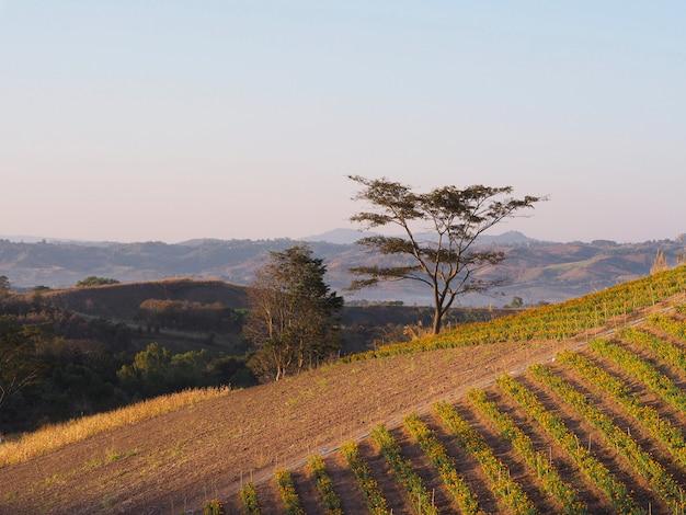 日の出の空で山のマリーゴールドの花の農場。