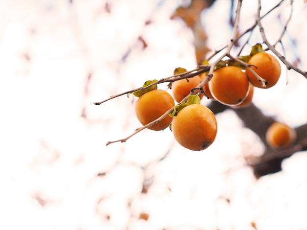 Плоды хурмы на дереве