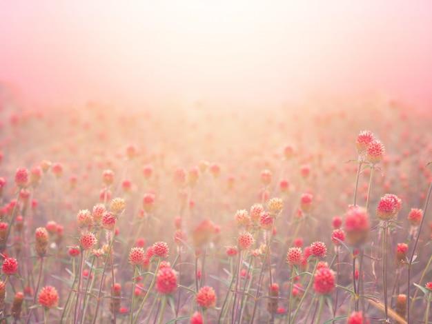 日の出の朝に霧の中で赤いグローブアマランスフィールド。