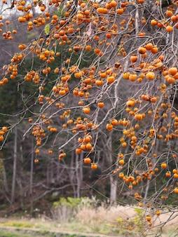 Плодоовощ хурмы на дереве в осени японии.