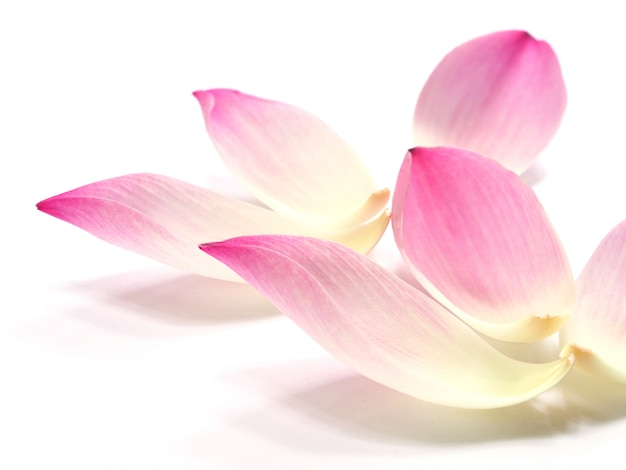 白地にピンクの蓮の花びらの花