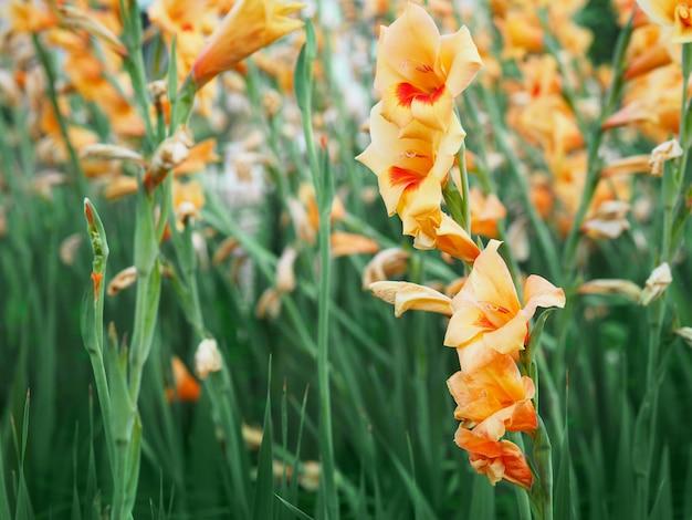 庭の美しい黄色のグラジオラス花畑を閉じます。