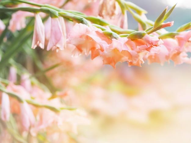 庭の美しいピンクのグラジオラス花畑を閉じます。