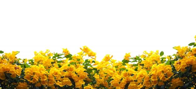 Желтые цветы бузины или трубача