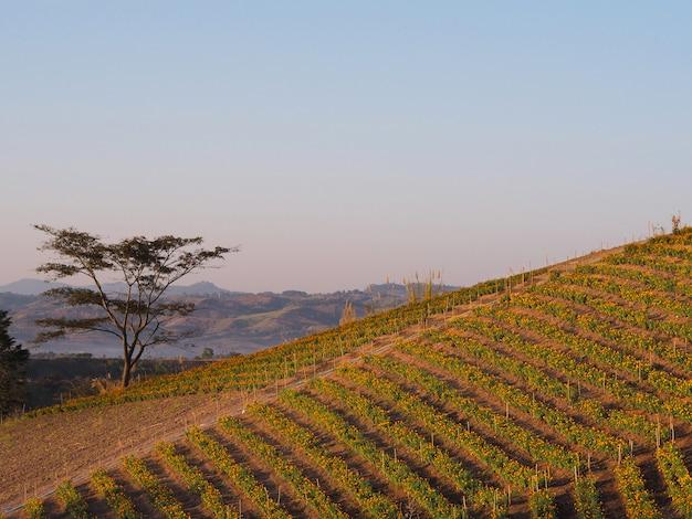 日の出の空に山の上のマリーゴールドの花農場。