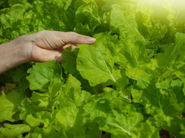 Выращивание овощей и зеленых листовых овощей. это пища для любителей здоровья.