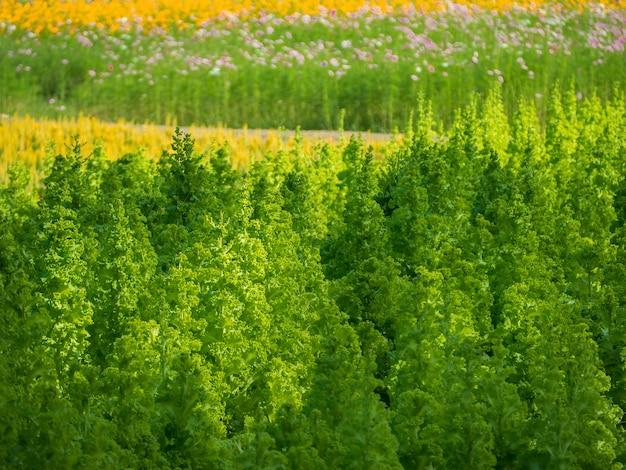 野菜の栽培そして緑の葉野菜。それは健康愛好家のための食べ物です。