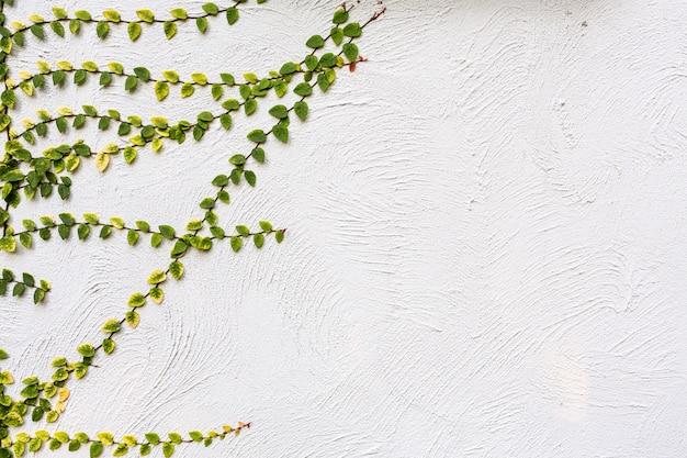 Листья плюща, изолированные на фоне стены