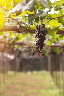 つるの緑の葉と紫の赤ぶどう。ファーム内の新鮮な果物