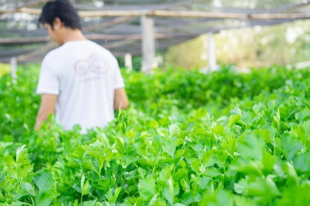 自然の新鮮な緑色のセロリ野菜の庭、セロリの成長