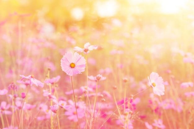 Пейзаж природы и красивое розовое и красное поле цветов космоса