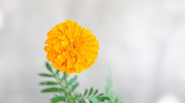灰色の背景に黄色のマリーゴールドの花。