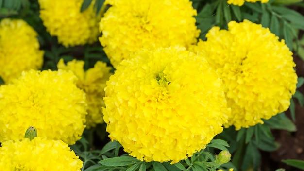 黄色のマリーゴールドは庭に花を咲かせる。