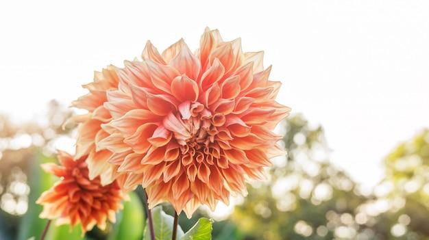 庭のピンクダリアの花。