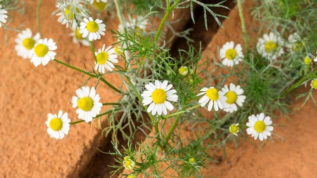 庭に白いカモミールの花植物。