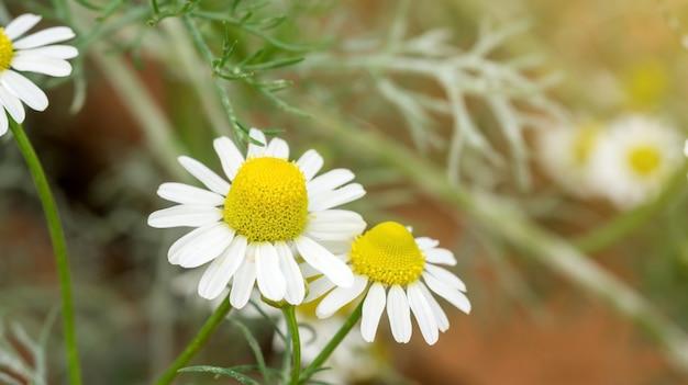 Белый цветок ромашки в саду.