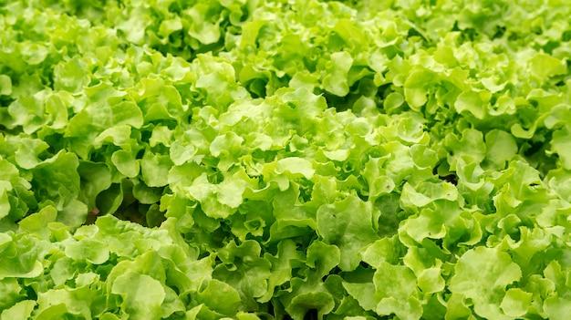 水耕野菜園のグリーンオーク植物。