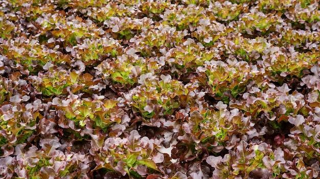 水耕野菜園のレッドオークの植物。