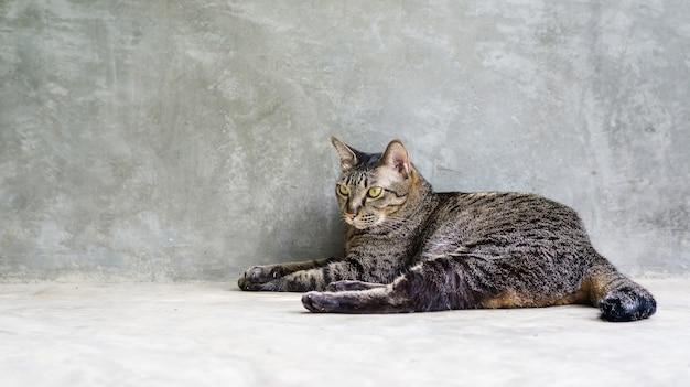 灰色の背景の上に座っている灰色の縞模様の猫。