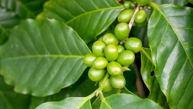 庭で緑のアラビカコーヒー豆。