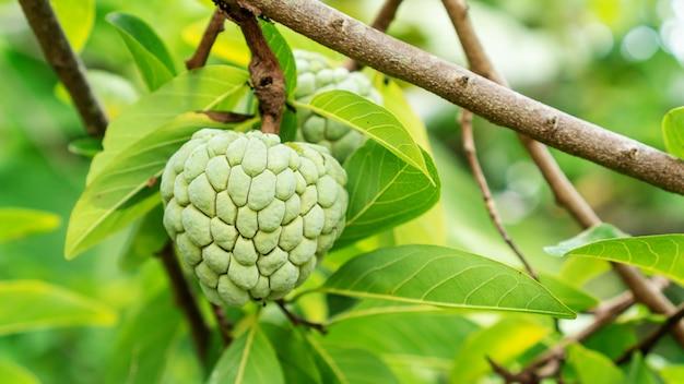 果樹園のカスタードアップルフルーツ。