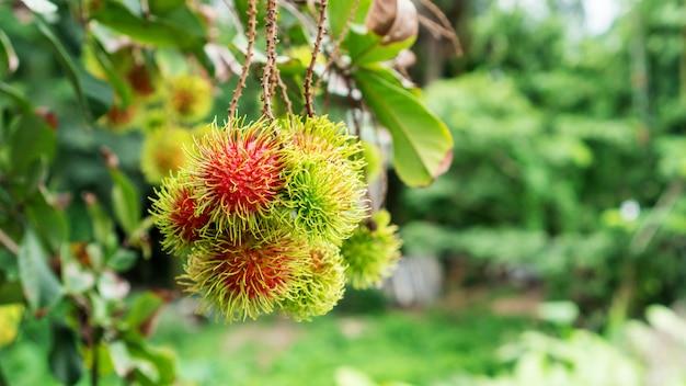 Рамбутан плоды в саду.