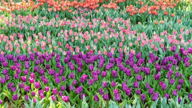 フラワーガーデンの紫、ピンク、赤のチューリップ畑