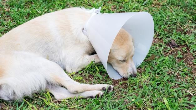漏斗の襟を着て草の上に横たわる病気の犬。
