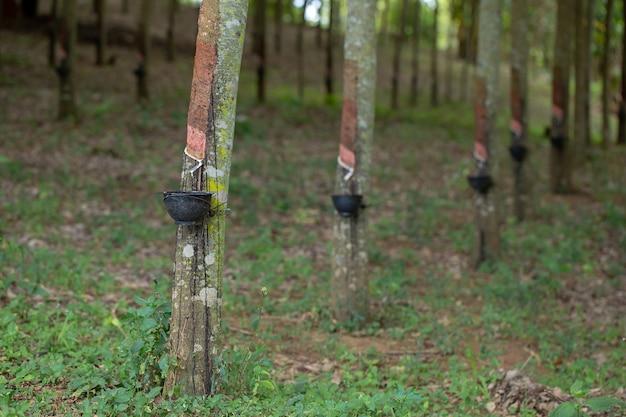 Каучуковый латекс является натуральным сырьем, которое не подвергалось различным процессам.