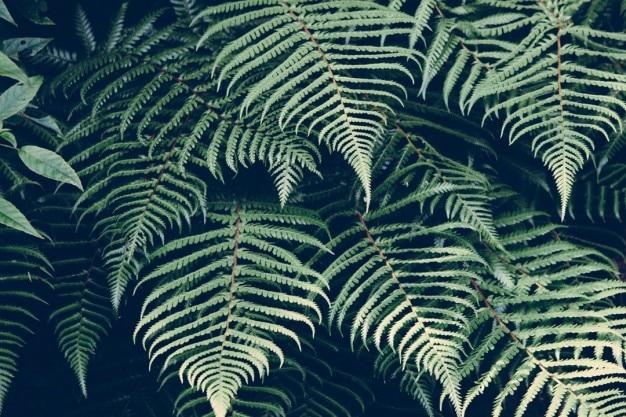 ブラッケンの葉