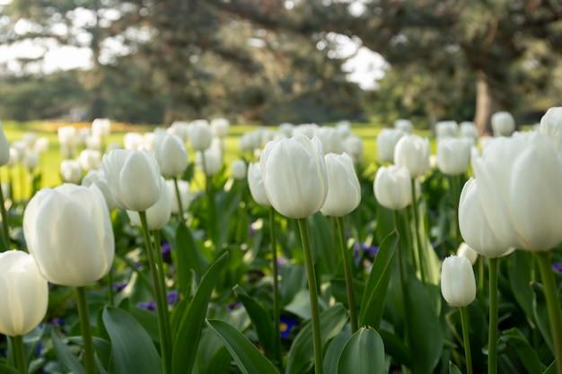 庭に咲く美しい白いチューリップの花。