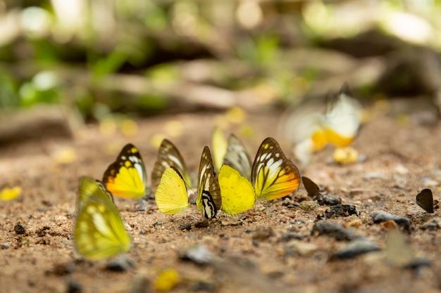 国立公園の地面に寄り添う蝶のグループ。