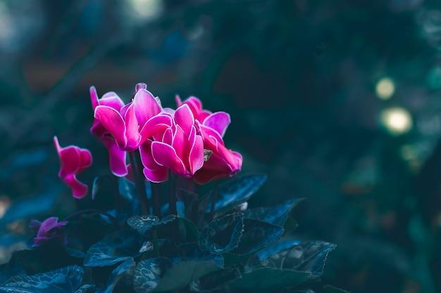 Розовый зацветая цветок цикламена в саде.