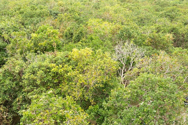 Вид сверху зеленого мангрового дерева в качестве фона.