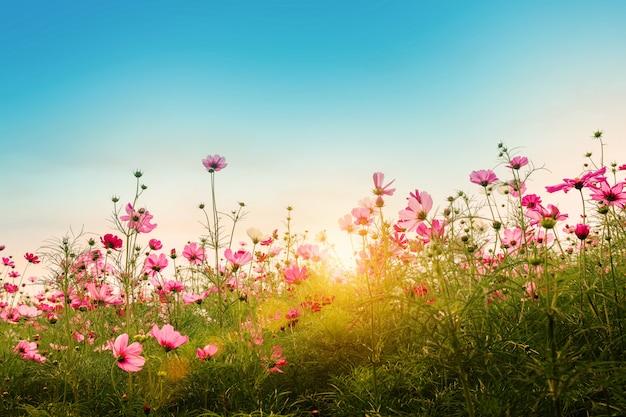 庭の背景に美しいコスモスの花。