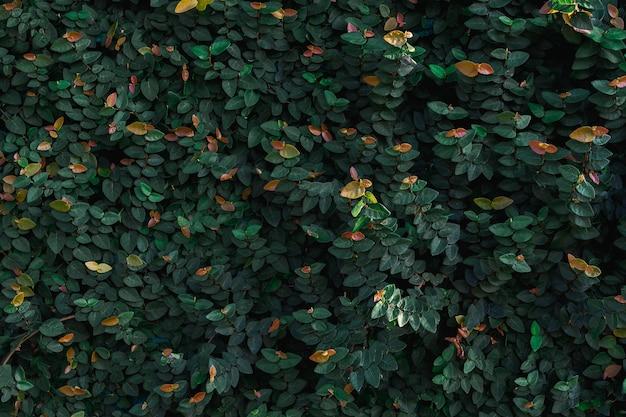 Зеленые листья естественной стены.