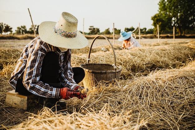 農夫は農場でわらキノコから土壌を切り取る