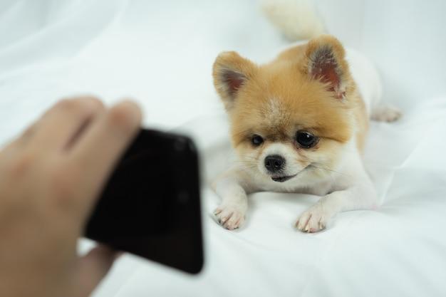 ポメラニアン犬のベッドの上のスマートフォンを見て
