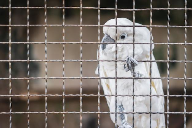 Белый какаду попугай, глядя через клетку, грустно ждет принятия и любопытно с глаз.