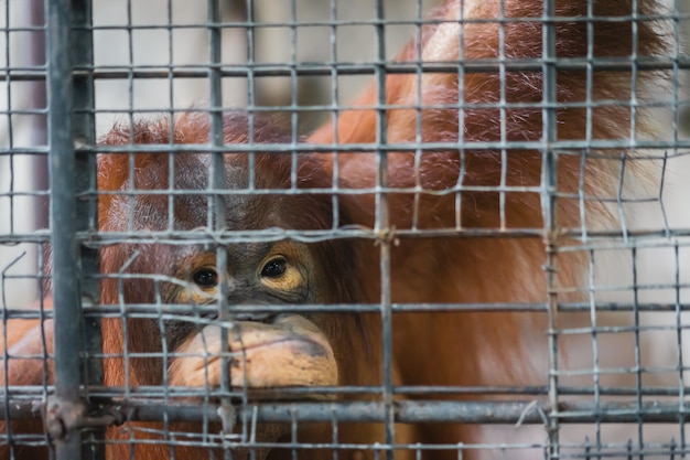 悲しいことに、鋼鉄のケージに入れられたオランウータンの猿は、霊長類動物の感情的なシーンを投獄しました。