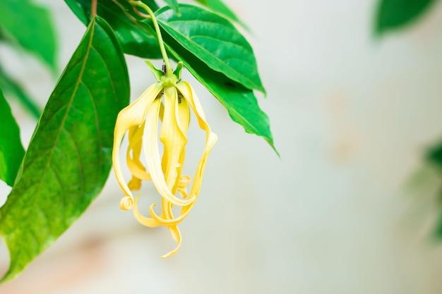 タイからの精油の製造のための香水の木またはイランイランの花。