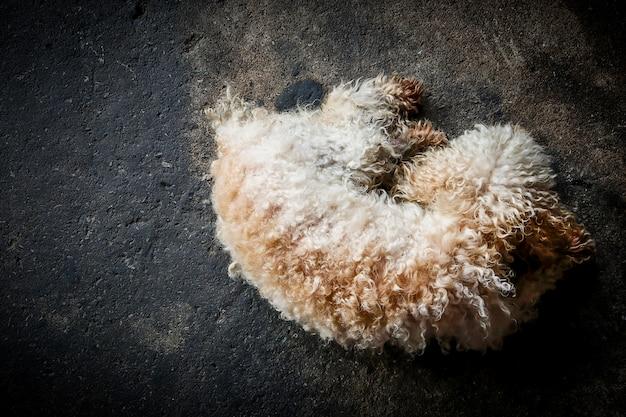 黒い床で寝ているプードル犬の平面図。動物ペットダークトーン。