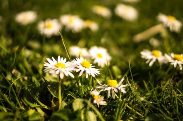 春にヒナギクのグループ