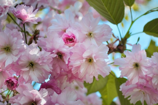 ピンクリンゴの花