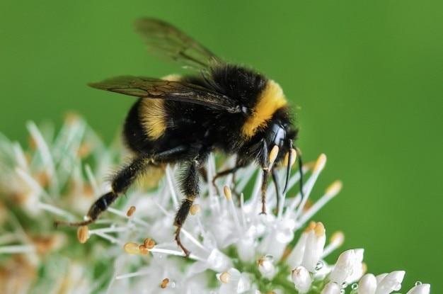 蜂と白い花